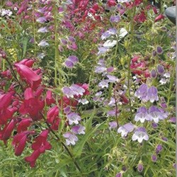 penstemon-karnoval-1