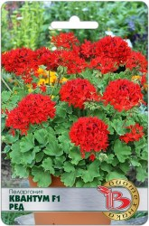 tsv-pelargoniya-kvantum-f1-red